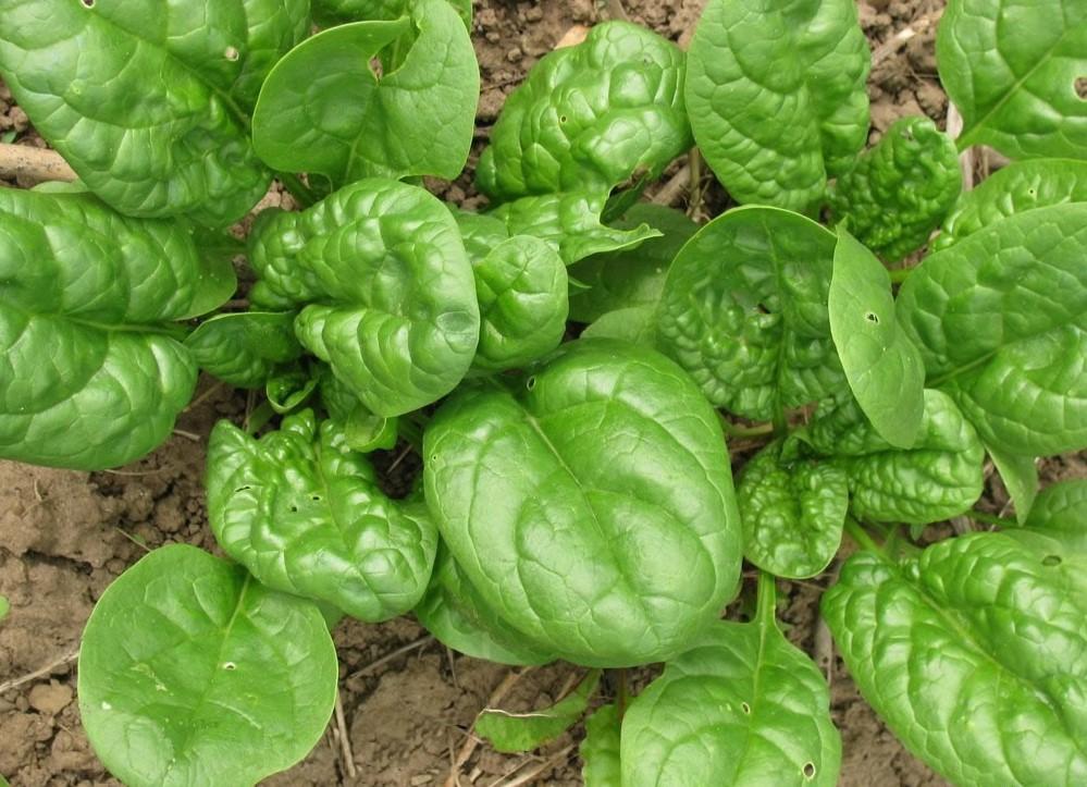 Выращивание и агротехника шпината