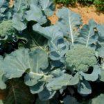 Брокколи выращивание