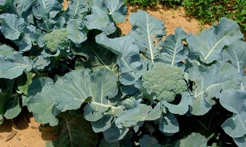 Выращивание капусты брокколи в открытом грунте