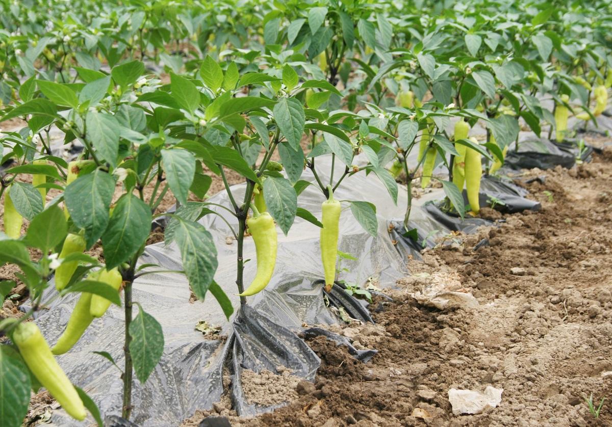 Выращивание перца в открытом грунте - чем подкормить рассаду