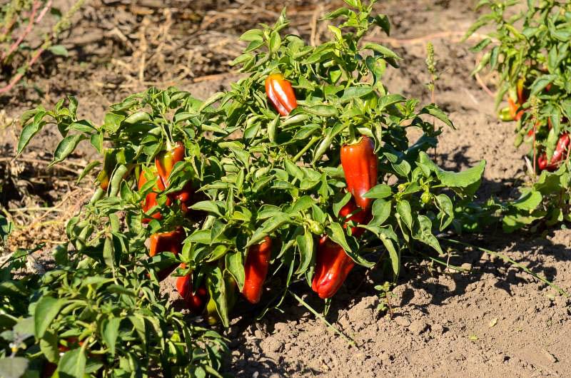 Выращивание перца в открытом грунте - полезные советы
