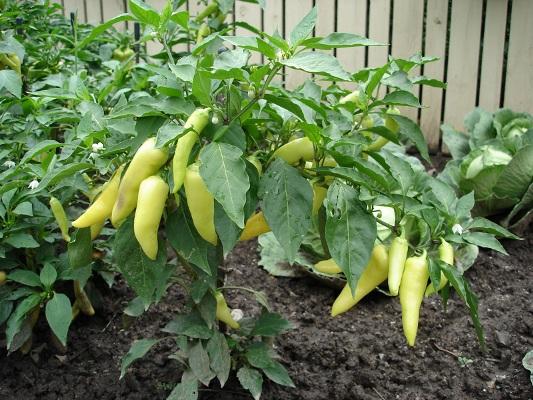 Выращивание перца в открытом грунте своими руками