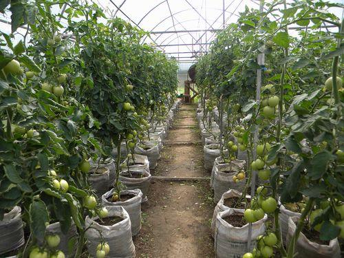 Выращивание помидоров в теплице из поликарбоната - особенности посадки и ухода