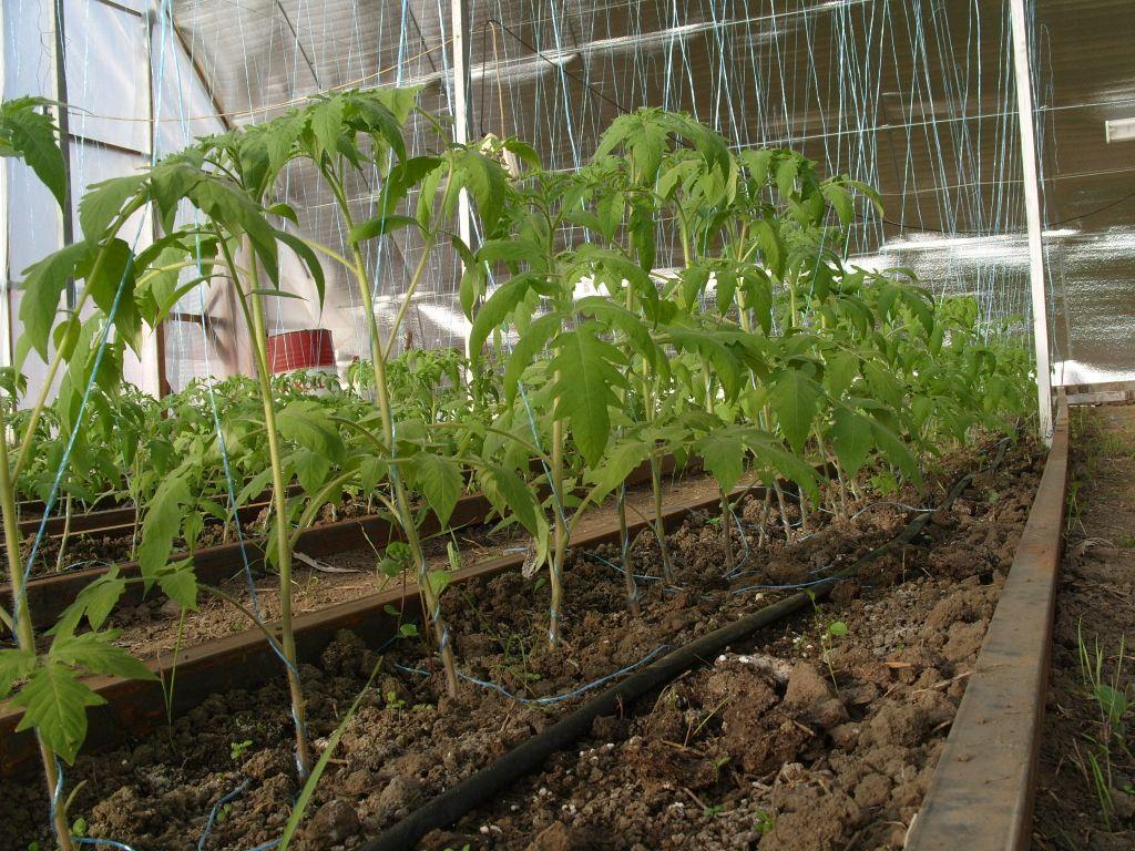 Выращивание помидоров в теплице из поликарбоната - особенности высадки рассады