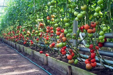Выращивание помидоров в теплице из поликарбоната - рекомендации опытных огородников