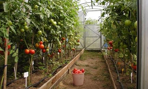Выращивание помидоров в теплице из поликарбоната - томаты выращенные в парнике