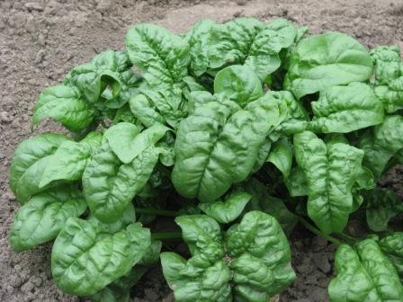 Выращивание шпината на огороде, в теплице, на подоконнике