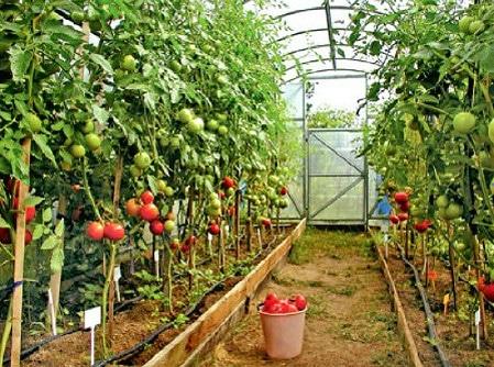 Высокоурожайные сорта помидор черри для выращивания в теплице