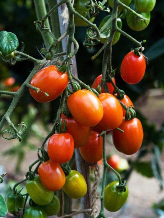 Высокоурожайный сорт помидор Рио Гранде