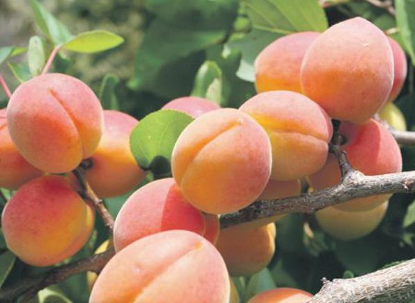 Высокоурожайный, засухоустойчивый абрикос краснощекий