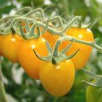 Желтые помидоры сорта