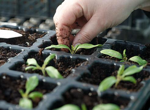 Заглубление рассады помидор до семядольных листочков