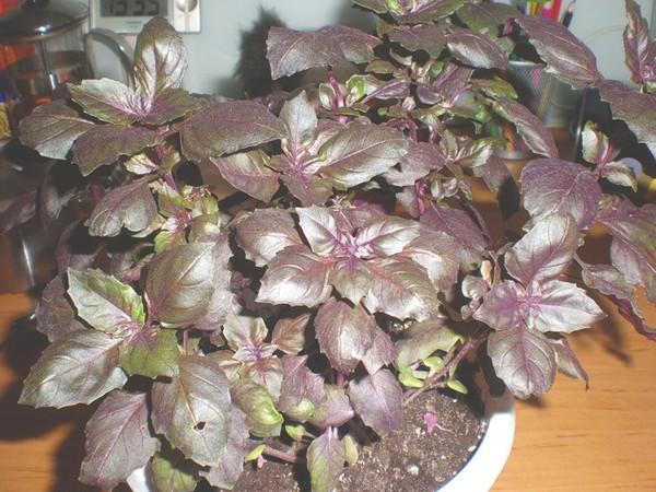 Базилик выращивание из семян на подоконнике - чем подкормить растение