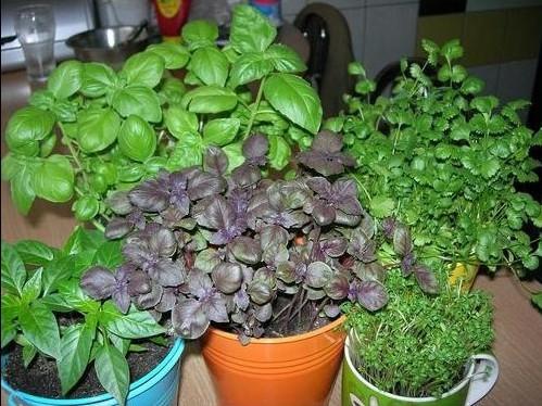 Базилик выращивание из семян на подоконнике в домашних условиях