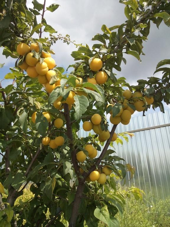 Алыча царская как вырастить фруктовое дерево на садовом участке