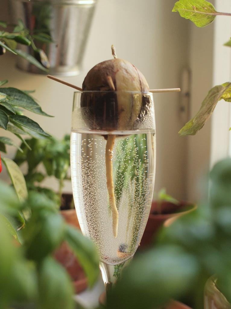 Как прорастить косточку авокадо с помощью стакана с водой и зубочистки