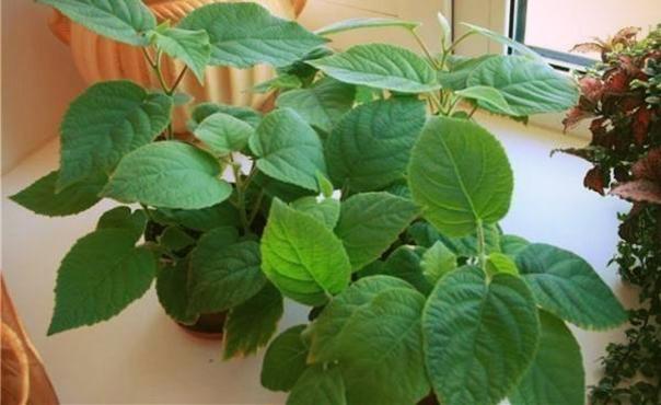 Как вырастить киви из семян своими руками