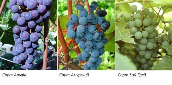 Лучшие неукрывные сорта винограда для Подмосковья