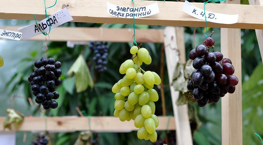 Морозостойкие сорта винограда раннего срока созревания