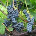 Неукрывные сорта винограда - гибридный морозостойкий Альфа