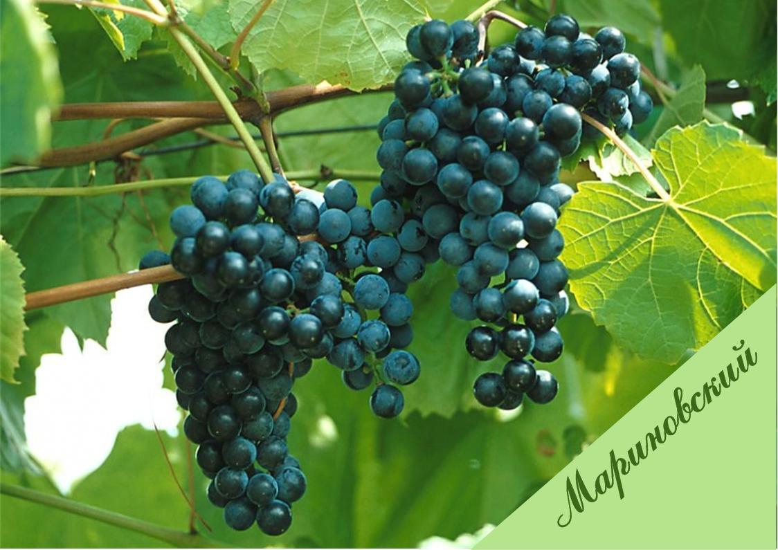 Неукрывные сорта винограда - гибридный виноград Мариновского