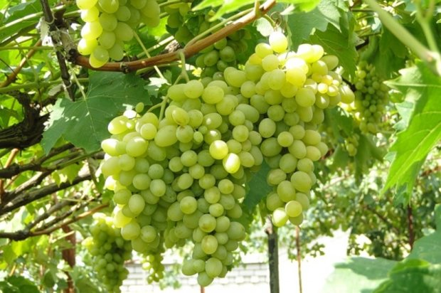 Неукрывные сорта винограда - оптимальный для средней полосы Августин