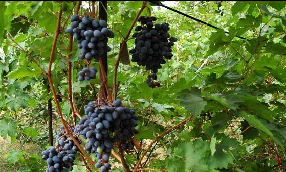 Неукрывные сорта винограда - среднерослый Амурский