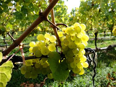 Неукрывные сорта винограда - среднеспелый Рислинг
