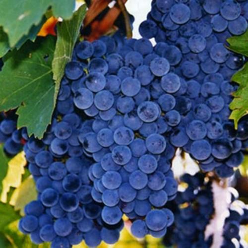 Неукрывные сорта винограда - столово-технический сорт Изабелла
