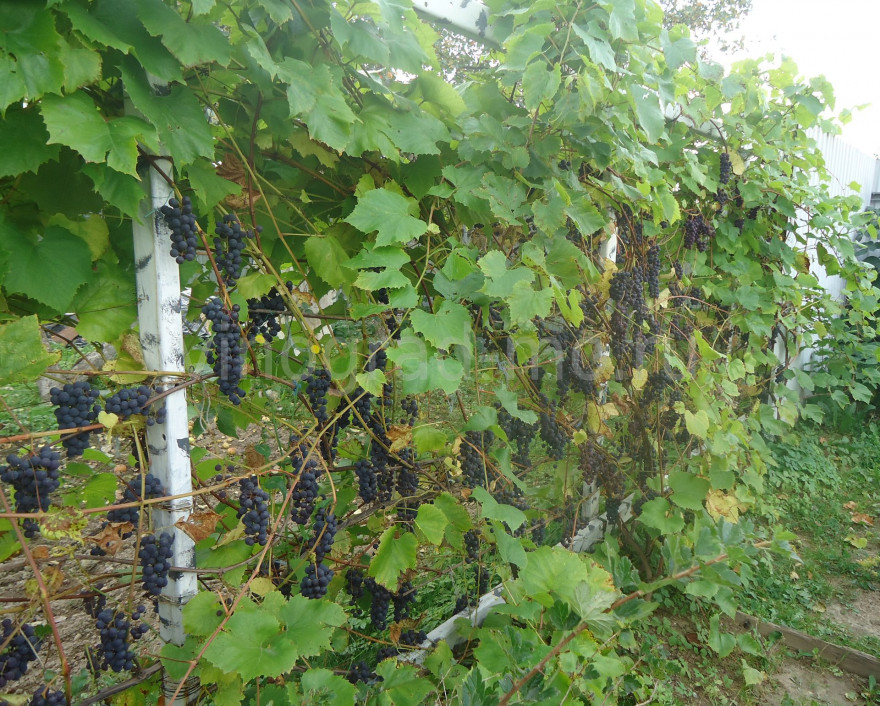 Особенности условно-укрывных сортов винограда