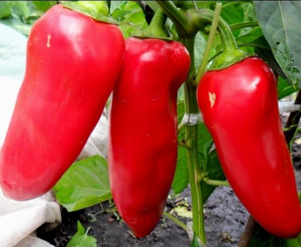 Перец какаду как вырастить овощ на своем огороде