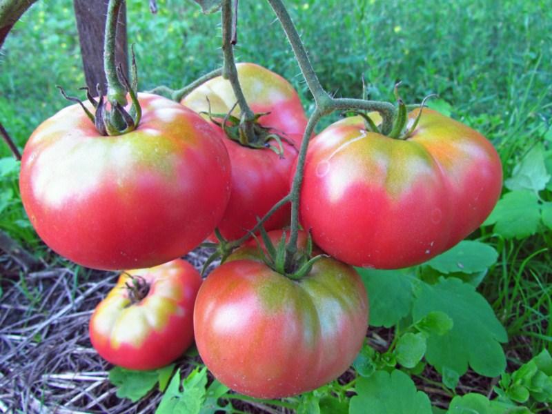 Помидоры Микадо секреты культивации овоща
