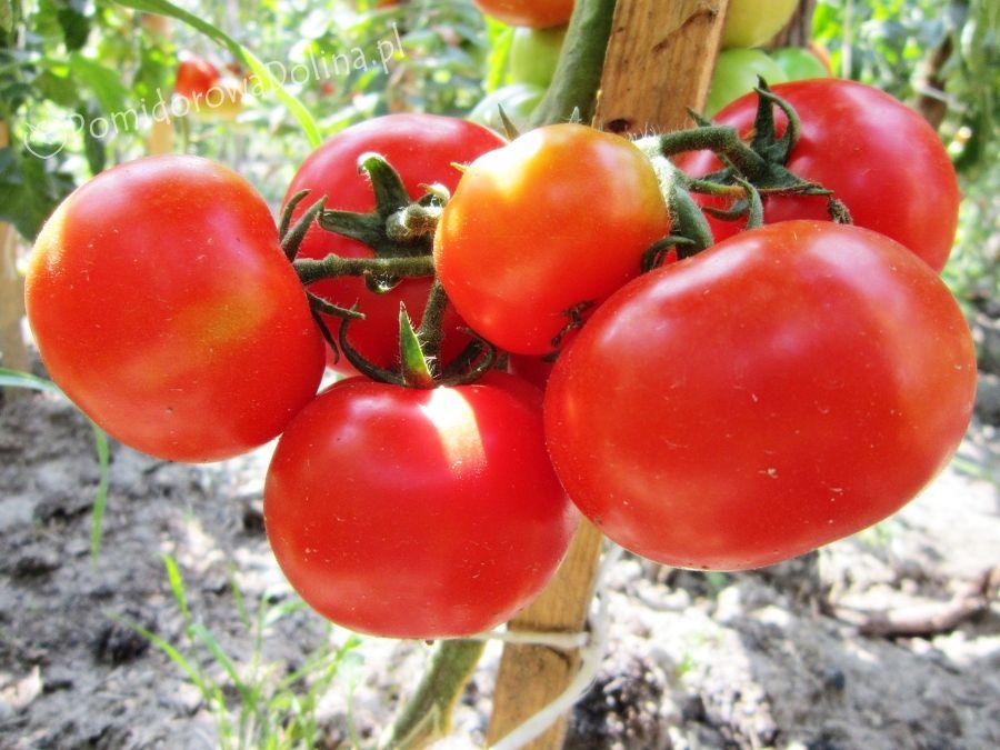 Сорта помидор для теплицы из поликарбоната - индетерминантный гибрид Сибиряк