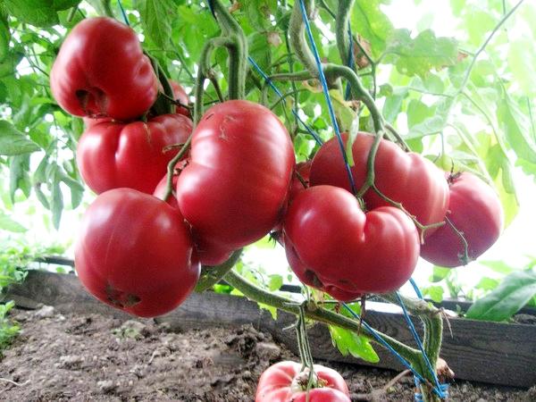 Сорта помидор для теплицы из поликарбоната - крупноплодный Розовый мед
