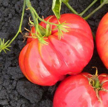 Сорта помидор для теплицы из поликарбоната - среднеранний Сердце буйвола