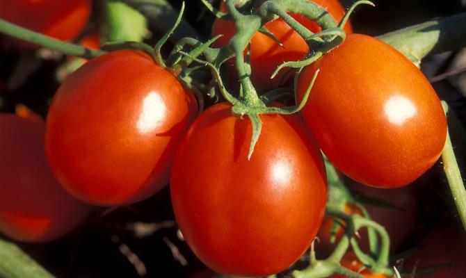 Сорта помидор для теплицы из поликарбоната - универсальная Самара