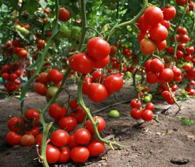 Сорта помидор для теплицы из поликарбоната - высокорослый Урал F1