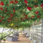 Сорта помидор для теплицы из поликарбоната