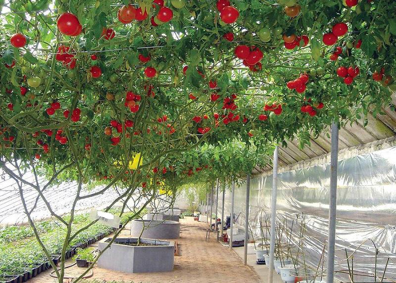 Сорта помидор для теплицы из поликарбоната - зимостойкий Спрут