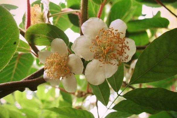 Цветение лианы киви