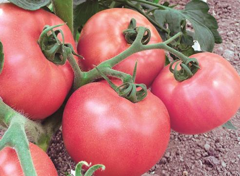 Тепличные сорта томатов помидоры Микадо