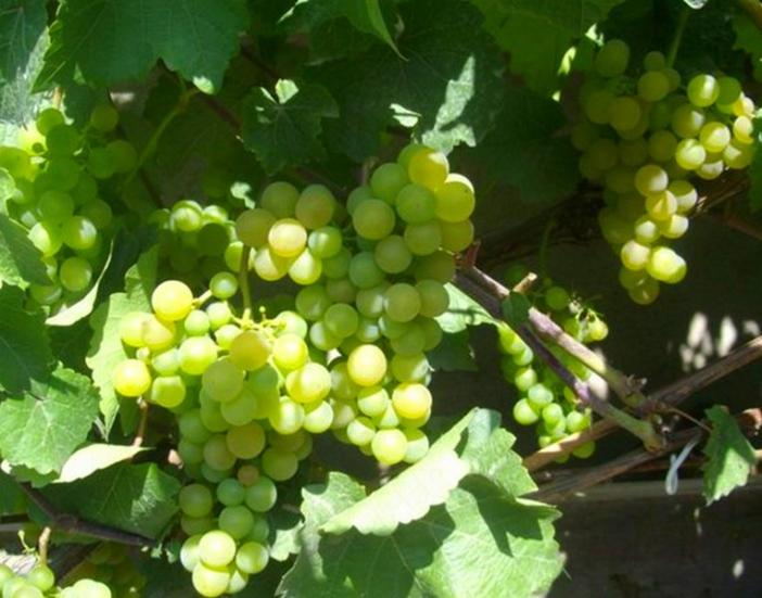Виноград Платовский для изготовления столовых и десертных вин