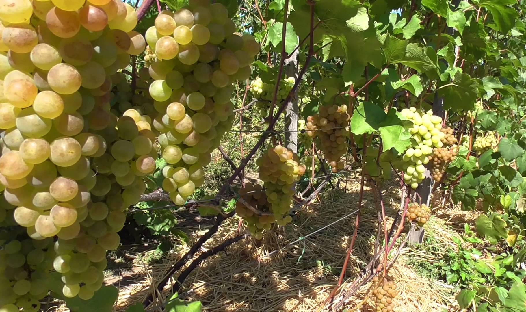 Виноград Платовский как вырастить на садовом участке