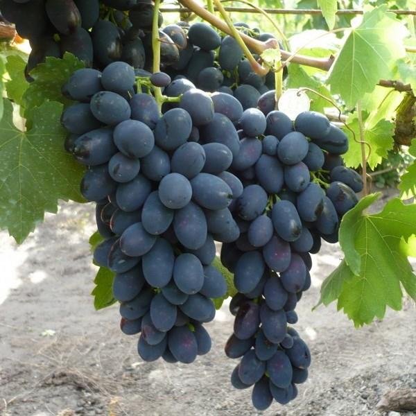 Черный виноград Кодрянка с быстрым плодоношением