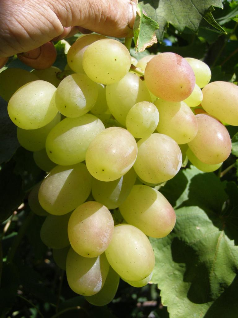 Гроздь белого винограда сорта Кеша
