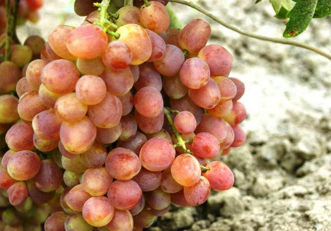 Характеристика сорта винограда Кеша - красный Талисман