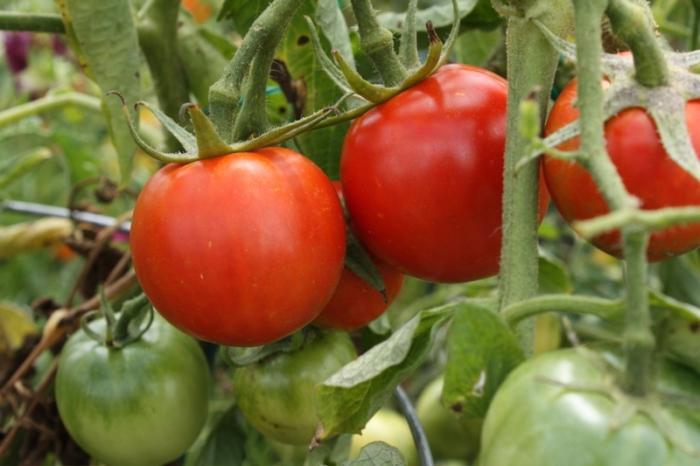 Как получить высокий урожай томатов Взрыв