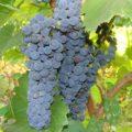 Как ухаживать за техническим виноградом Маркетт