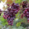 Как вырастить виноград сорта Изюминка на даче