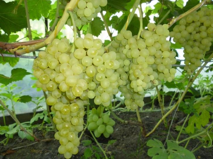 Кишмиш 342 выращивание и уход за виноградом